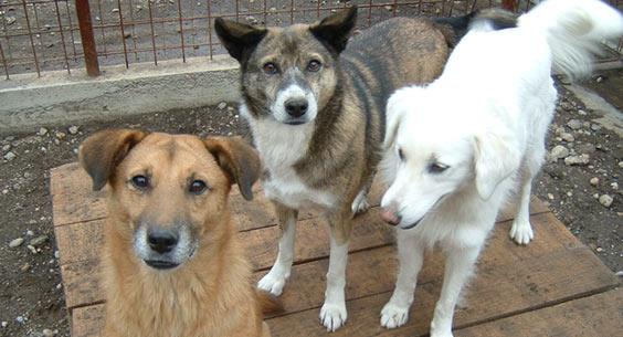 Tierhilfe Hoffnung e.V. - Wir haben 28 Ausläufe mit einer Länge von jeweils 110 Metern. Manchmal müssen die Hunde aber auch in den Boxen warten.