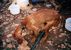 Oft werden die Hunde völlig abgemagert und verwahrlost ausgesetzt