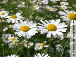 Inhalieren mit Kamille hilft gegen Bakterien, Viren und Pilze