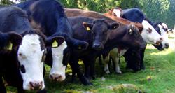 Zufriedene Kühe und Ochsen
