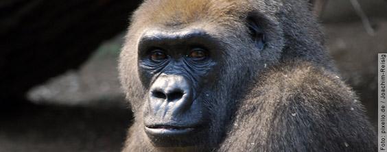 Erfolg: Riesige Affenzuchtanlage in Puerto Rico verhindert